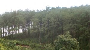 Lush Pine Forest.