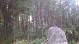 Green Pine Forest.