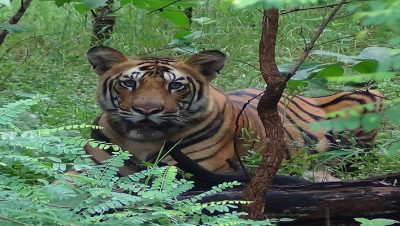 Tiger in Melghat