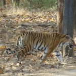 Pench National Park Tiger.