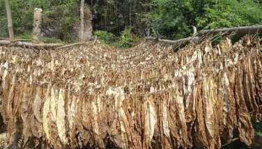 Tobacco production