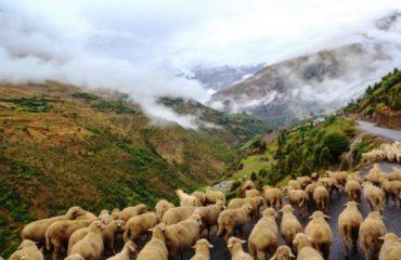 चरती भेड़ें