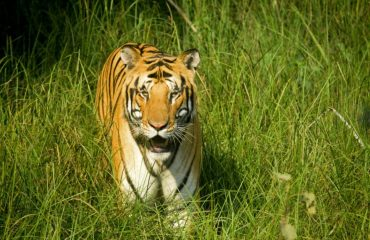 (Tiger Walk in Pilibhit Tiger Reserve)