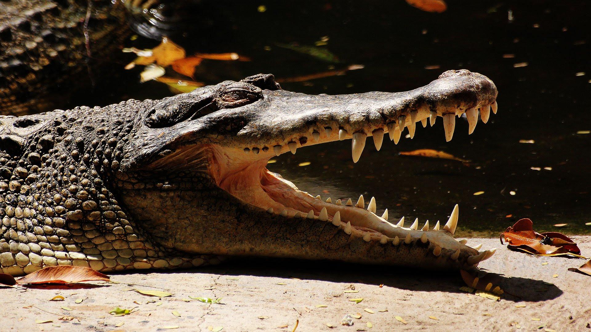 Zoo-Crocodile