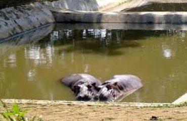 Hippopotamus in Sepahijala