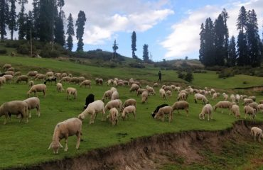 Sheeps on Road side
