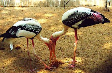 vedanthangal_bird