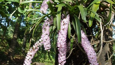 Foxtail orchard - The State Flower of Arunachal Pradesh