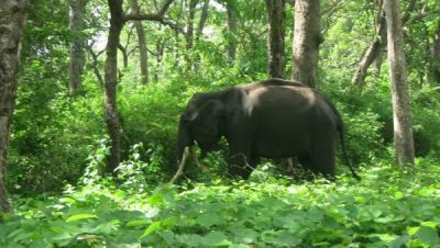 Elephant living in the Mouling National Park at Jengging in Upper Siang District