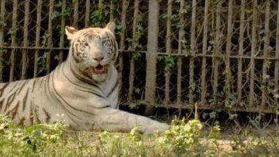 National Zoological Park Tiger