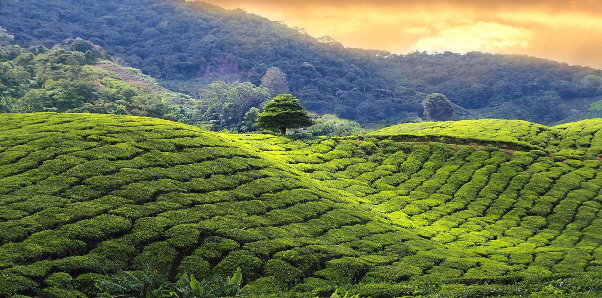 Pristine_Tea_Garden