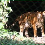 Royal Bengal_ Tiger in zoo