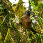 Chestnut-crowned _Laughingthrush