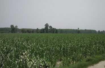 bandiya_kichha_usnagar_sugarcane