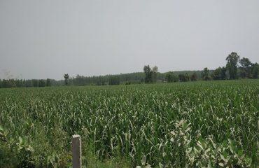 बंडिया किच्छा ऊधम सिंह नगर का खेतों में उगता गन्ना-1