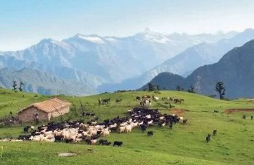 Shepherding at Panwali
