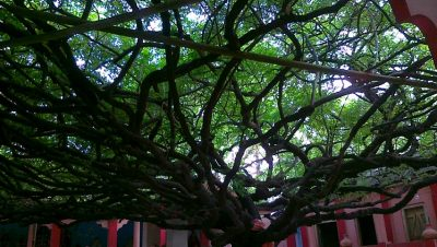 Tamal Tree at Laxmi Narayan Bari