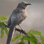 Large-Grey Babbler