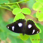 Danaid Eggfly-