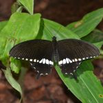 Common Mormon-
