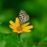 Common Pierrot -