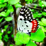 Talicada Nyseus -(Red Pierrot)