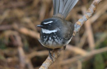Spot-Breasted Fantail