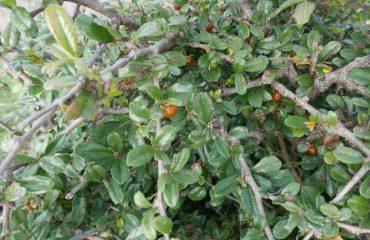 కార్మోనా రెటుసా (వాహ్ల్) మాసం