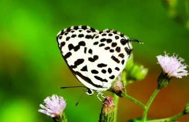Castalius rosimon- (Common Pierrot)