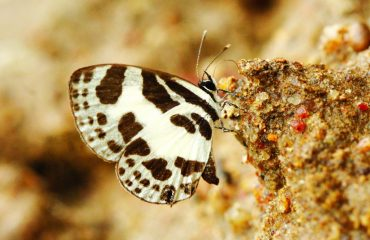 Discolampa Ethion -(Banded Blue Pierrot)