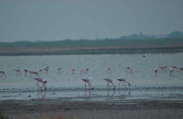 Small flock of Flamingos