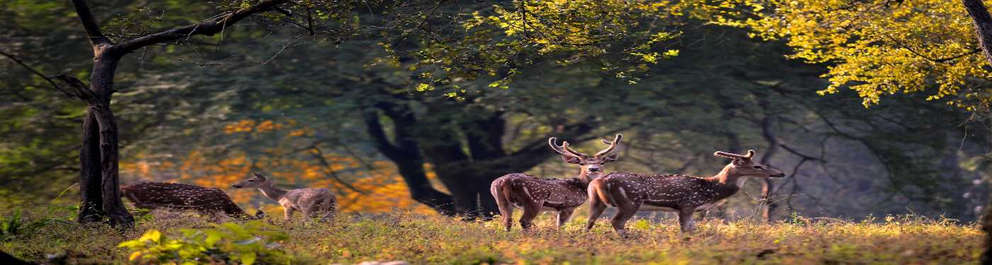 Deers at Kanha National Park