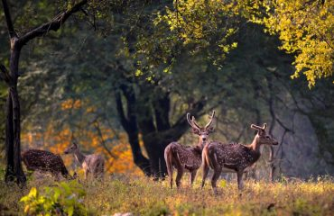 Deer at Khanha National Park