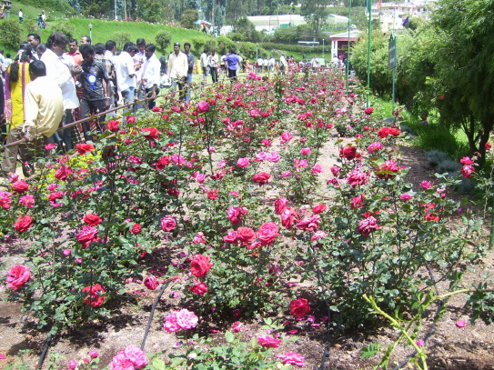 Tourists enjoying the view of roses at Rose Garden