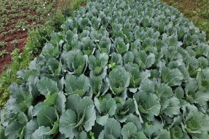 Cabbage cultivation, State Horticulture Farm, Nanjanad