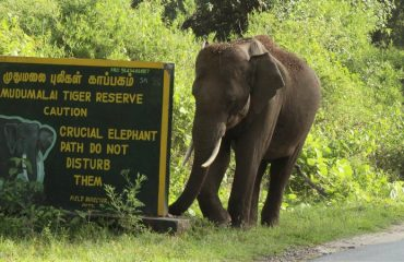 An adult elephant at Mudumalai tiger reserve