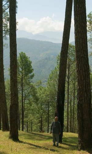 Pine forests in the hilly areas of Kumaon