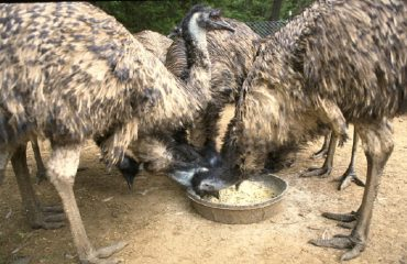 Emu during feed time