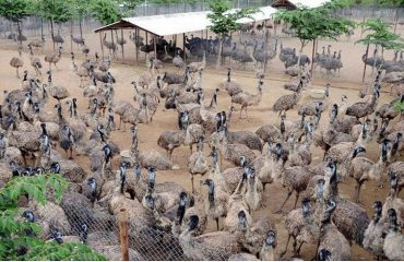 group of emus