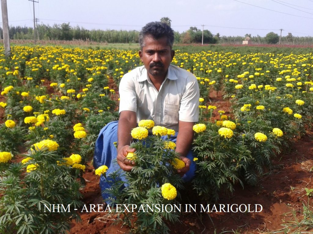 Horticulture - Area Expansion in Marigold.