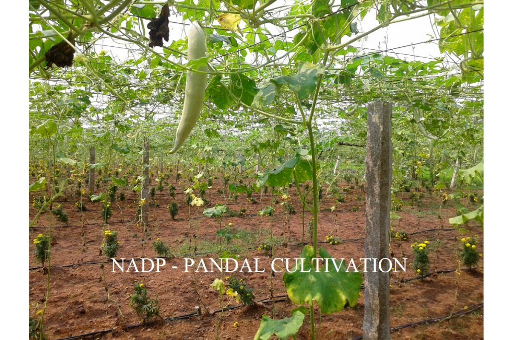 Horticulture - NADP Pandal Cultivation.