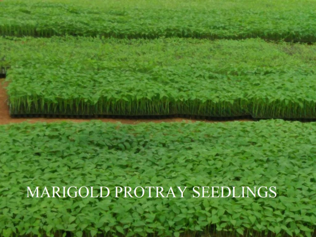 Horticulture -Marigold Protray Seedings.