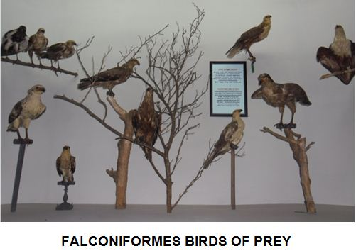 falconiforms.