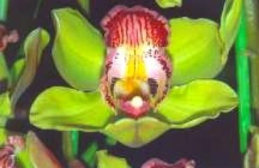 Forest King orchid