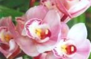 Love Angel Orchid