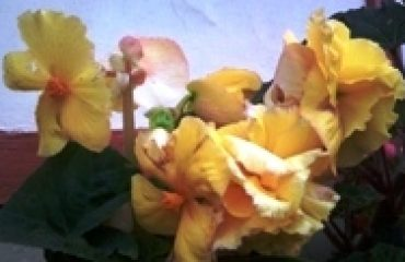 Begonia Yellow Orchid