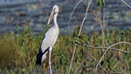 Open Bill Stork at Navegaon