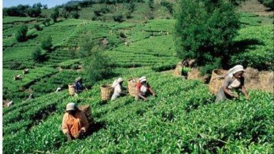 View of Tea Garden