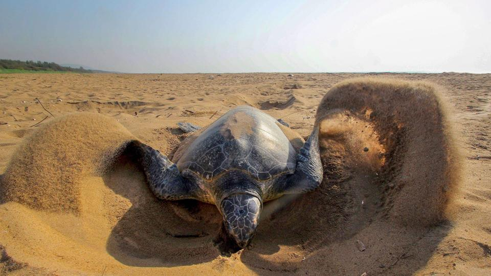 Olive Ridley turtle at RushiKulya