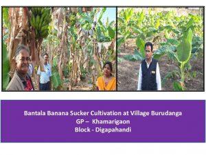 Bantala Banana-cultivation